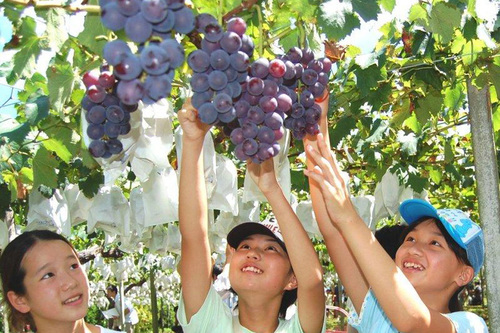 Kyoho Grapes from Japan